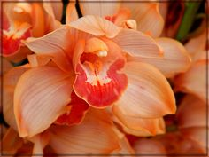 Peachy Keen by - photography->flowers - Another from the orchid greenhouses - a rather unusual golden peach color. Beautiful Gardens, Beautiful Flowers, Orchid Care, Orchid Flowers, Virtual Flowers, Little Presents, Alpine Plants, Cymbidium Orchids, Tropical Plants