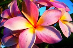 With their powerful, sweet aroma and beautiful color variations, plumeria flowers are a memorable part of the Hawaii experience. Hawaii Flowers, Plumeria Flowers, Tropical Flowers, Fresh Flowers, Pretty In Pink, Beautiful Flowers, Hawaiian Plants, Flower Plants, Hawaii Pictures