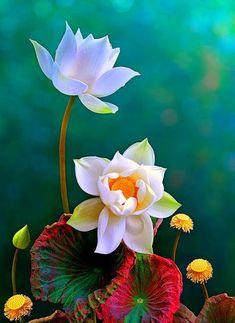 Flores hermosas water lilies flores, flores ornamentais y pl Flower Images, Flower Pictures, Flower Art, Lotus Flower, Good Morning Flowers Quotes, Good Morning Images, Good Morning Beautiful Flowers, Good Morning Friends, Morning Pictures