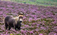 Wild pony, Exmoor