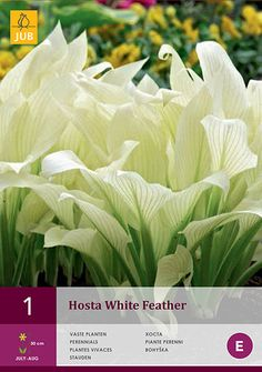 34 Best White Feather Hosta Images In 2019