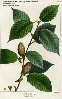 Betula alleghaniensis (Betulaceae)