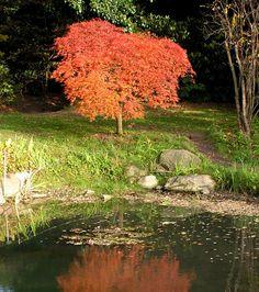 Acer palmatum, japansk lönn