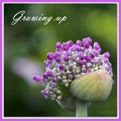 LÖwin.g: Allium 2 .. Zierlauch Kugellauch