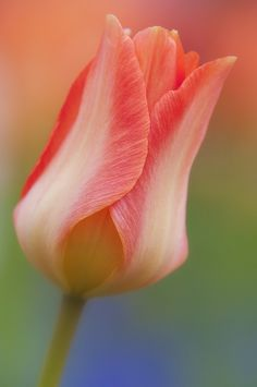 ~~MID APRIL~ spring tulip by ajpscs~~