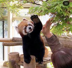 Otters, Panda Bear, Adorable Animals, Creatures, Winter, Sweet, Red Panda, Funny Pets, Gatos