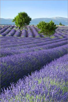 Lavender Farm, #Provence. http://reversehomesickness.com/europe/violet-colored-lavender-fields-france/