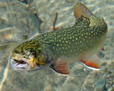 """ Fly Fishin' Friday – Images of trout and the pursuit to hook 'em. Credit of the pic should be given to the original poster or photographer. Fishing Life, Sport Fishing, Gone Fishing, Kayak Fishing, Pretty Fish, Beautiful Fish, Trout Fishing Tips, Fishing Photos, Fishing Photography"