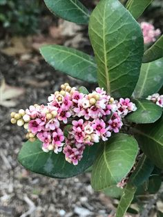 The same hedge that delivers delicious lemonade-like berries also delights with these delicate pink blooms. #CaliforniaNativePlants #BloomingNowLA