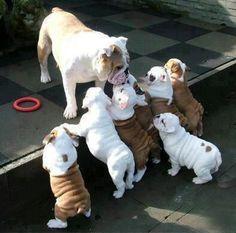 #bulldog #babies #puppies #pets #adorable