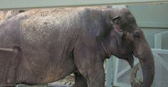 <p>Lucky the elephant shuffles and sways in the San Antonio Zoo zoo, where she has spent 53 long years. </p>
