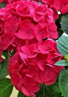 never seen this color before! Hortensia Hydrangea, Hydrangea Flower, Red Flowers, Beautiful Flowers, Deco Floral, Trees And Shrubs, Beautiful Gardens, Flower Power, Planting Flowers