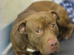 Staten Island REX – A1066655  MALE, BROWN / WHITE, PIT BULL MIX, 2 yrs OWNER SUR – EVALUATE, NO HOLD Reason BITEPEOPLE Intake condition UNSPECIFIE Intake Date 03/04/2016, From NY 10303, DueOut Date 03/04/2016, Urgent Pets on Death Row, Inc