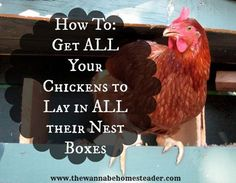 Here is an easy solution to getting your chickens to lay eggs in all of their nest boxes.