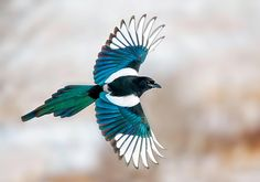 Large, flashy Black-billed Magpies, relatives of jays and crows, are social creatures that will gather in numbers to feed at carrion. Iridescent, black feathers shining green here Eurasian Magpie, Pie Bavarde, Magpie Tattoo, Audubon Society, Photography Awards, Bird Feathers, Black Feathers, Beautiful Birds, Pet Birds