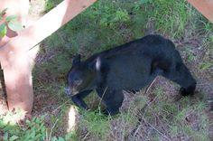 black-bear-alaska  http://ghostbearphotography.com/hyder-alaska/