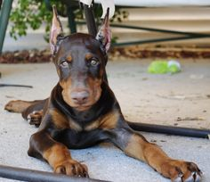 Beautiful Red/Rust Doberman Puppy