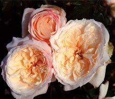 Tchaikovski® - Grandiflora Rose