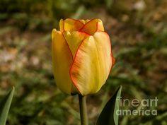 Yellow Tulips, Fine Art America, Digital Art, Wall Art, Flowers, Artwork, Plants, Work Of Art, Auguste Rodin Artwork