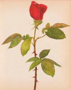 Red Rose Art Print Wall Decor Vintage Botanical by AgedPage