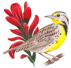 Wyoming State Bird And Flower Western Meadowlark Once Again The Indian Paintbrush