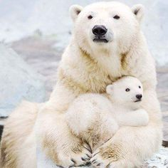 Polar bear Gerda cradles her three month old female cub in magical pictures from Novosibirsk Zoo. Cute Baby Animals, Animals And Pets, Wild Animals, Baby Polar Bears, Bear Cubs, Grizzly Bears, Tiger Cubs, Tiger Tiger, Bear Photos