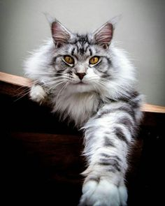 When it comes to Maine Coon Vs Norwegian Forest Cat both can make good pets but have some traits and characteristics that are different from each other Cute Cats And Kittens, I Love Cats, Crazy Cats, Cool Cats, Kittens Cutest, Beautiful Cat Breeds, Beautiful Cats, Animals Beautiful, Cute Animals