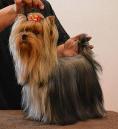 Yorkshire Terrier Breeder Of Champion Yorkies - Showing A Yorkshire Terrier Yorkies, Yorkie Puppy, Chihuahua, Pitbull Puppies For Sale, Rottweiler Puppies, Yorkshire Terrier Haircut, Yorkshire Terrier Puppies, Yorshire Terrier, Silky Terrier