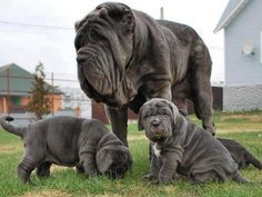 Majestic #Mastiffs ♡... Re-pin by StoneArtUSA.com ~ affordable custom pet memorials for everyone. See more Pet Pics I Like here http://www.pinterest.com/stoneartusa/~-pet-pics-i-like-~-group-board/