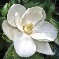 Teddy Bear® Southern Magnolia -- Compact, upright grower with fragrant flowers. About: Full sun. Reaches up to 20 ft. tall and 12 ft. (Zone: 7 – Use: Large shrub or small tree. Flor Magnolia, Magnolia Trees, Magnolia Flower, Sweet Magnolia, Spring Blooming Trees, Night Blooming Flowers, Pink And Purple Flowers, White Flowers, Beautiful Flowers