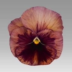 Inspire Terracotta Pansy - Annual Flower Seeds.