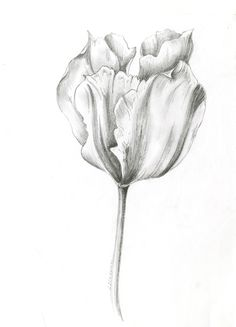 Tulip tattoo on inside of left forearm .<to represent elegance, grace, royalty, love, Prosperity>. Realistic Flower Drawing, Cute Flower Drawing, Flower Art, Graphite Art, Graphite Drawings, Pencil Art Drawings, Sketches Of Love, Flower Sketches, Art Sketches