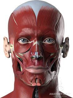 Anatomy Drawing Medical Anatomy Next - Human anatomy reference images and interactive teaching tools - Face Muscles Anatomy, Human Muscle Anatomy, Muscles Of The Face, Facial Anatomy, Head Anatomy, Anatomy Poses, Body Anatomy, Anatomy Study, Anatomy Art