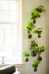 Air plants as hanging displays.