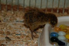 How to keep your new Japanese Quail, Coturnix japonica, with pictures