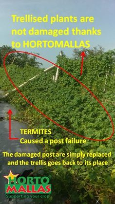 Bitter melon trellis collapses due to termites, but HORTOMALLAS stays in place