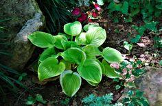 "Free image of ""Hosta In Shade Garden"" by Sheila Brown Growing Ginger Indoors, Gardening Tips, Vegetable Gardening, Garden Yard Ideas, Family Garden, Garden Images, Tomato Plants, Rustic Gardens, Shade Garden"