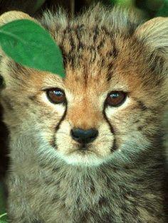 I ♥ cheetahs Cheetah Cubs, Cheetah Animal, Cheetah Face, Cute Baby Animals, Animals And Pets, African Cats, Baby Cheetahs, Beautiful Cats, Big Cats