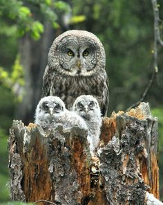 Great Gray Owls nest