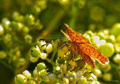 calephelis virginiensis   Apreciarla en total tranquilidad aunque el sol golpeaba fuerte con sus rayos de sol, la sombra creada por sus alas me parecio interesante y bello el poder fotografiar. #macro