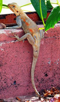 Lizards are different, exotic pets. Though they may not be at your side thick and thin, they are still great companions. They are ideal classroom pets, as kids get to help feed the creatures and watch them without being to distracted.