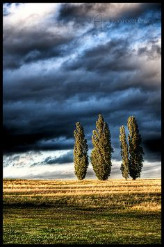 poplars against a threatening sky