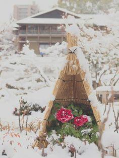 雪景色の徳川園 雪をかぶった冬牡丹 シロの世界を楽しもう (千種・今池) - 旅行のクチコミサイト フォートラベル