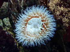 Sea Anemones, Sea Anemone Pictures, Sea Anemone Facts - National ...