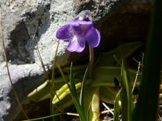 Pinguicula vulgaris,