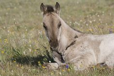 Grulla colt laying down in flowers, Pryor Mountains, Montana