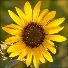 Packet of 150 seeds  ThisSunflowerseed packet is 3.25″ x 4.50″ in dimension andincludes a clear & colorful illustrationon the front. It also includes detailed seed sowing instructions on the reverse side as well.  All Sunflowerseeds sold by Seed Needs are Non-GMO based seed products and are intended for the current and the following growing season.All seeds are produced from open pollinated plants, stored in a temperature controlled facility and constantly moved out due to popularit...