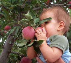 Take your pick, it's apple harvest time   www.sahuaritasun.com  #sahuaritasun