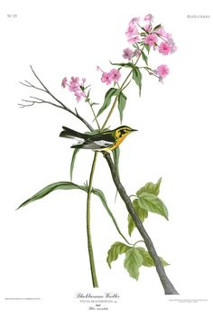 John Audubon, Birds of America - Blackburnian Warbler
