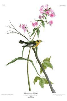 John Audubon, Birds of America - Blackburnian Warbler